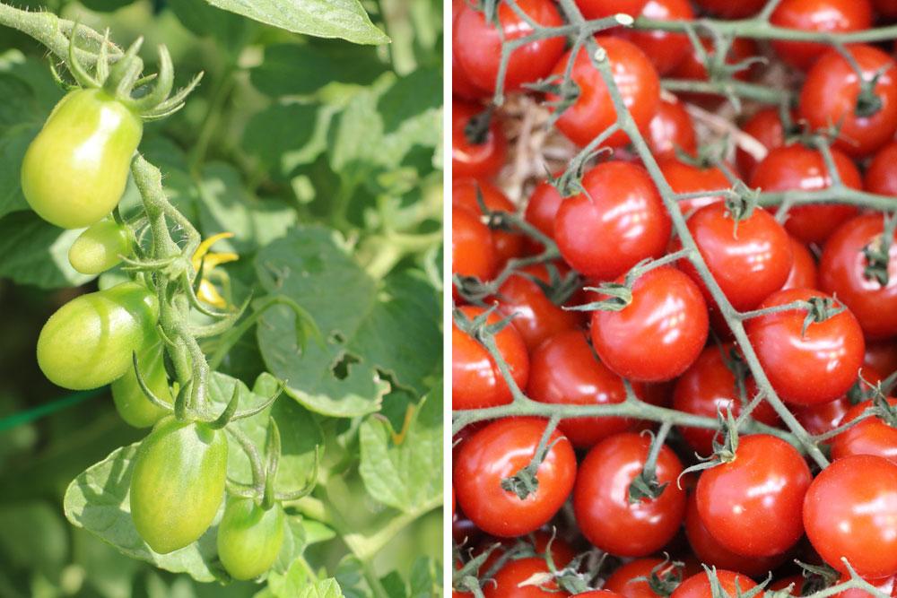 Kleinwüchsige Tomaten