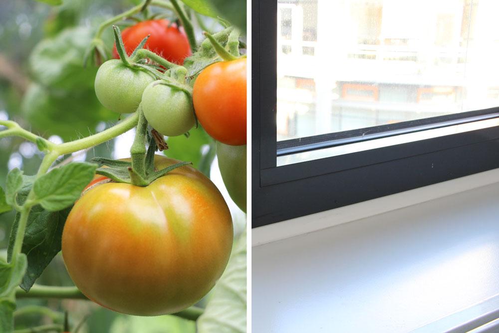 Tomaten auf Fensterbank überwintern