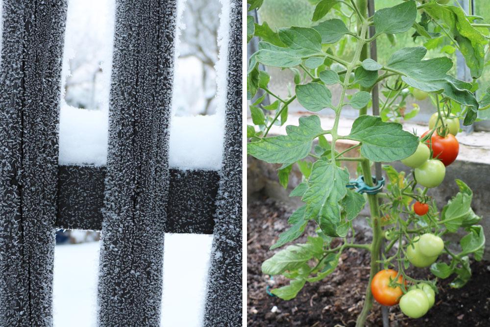 Tomaten im Gewächshaus überwintern
