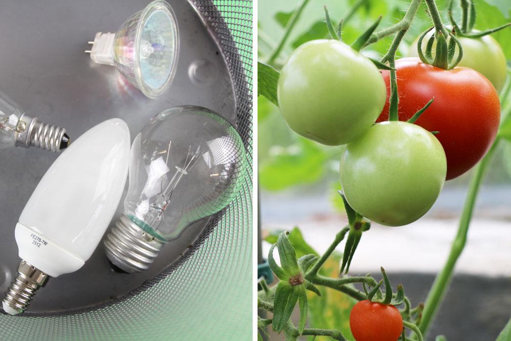 Lichtmangel ausgleichen bei Tomatenüberwinterung