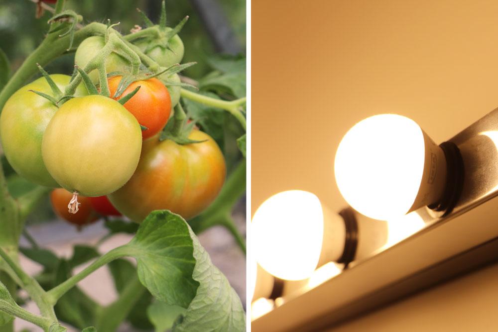 Tomaten mit künstlichem Licht beleuchten