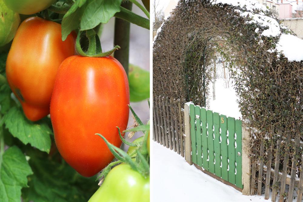 Tomaten sind mehrjährig, diese überwintern