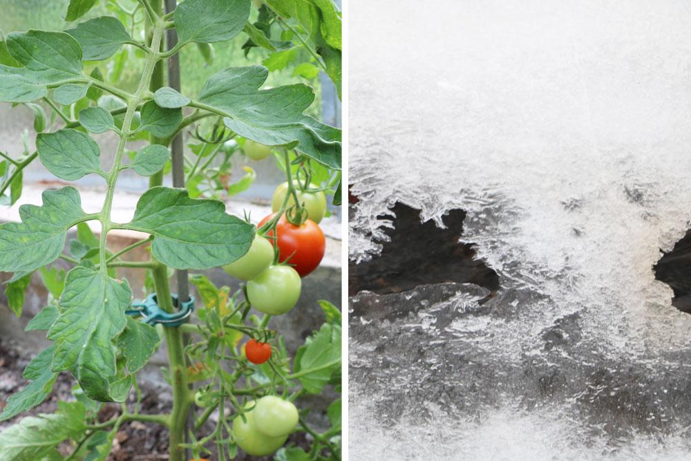 Frost schadet Tomaten