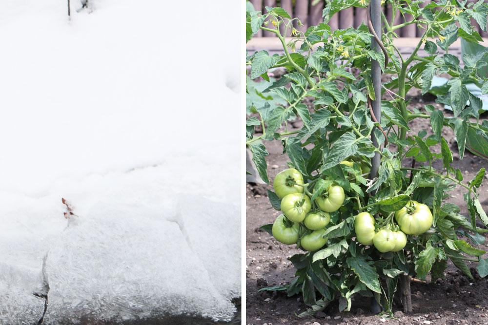 Tomaten mit Frostschäden retten