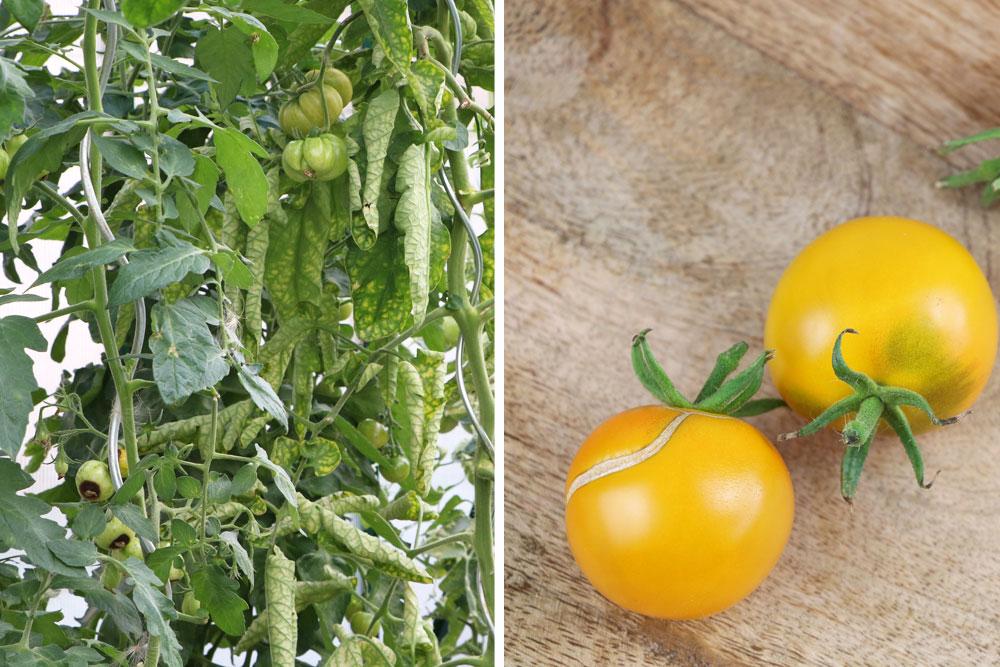 Tomatenfrucht mit Frostschäden