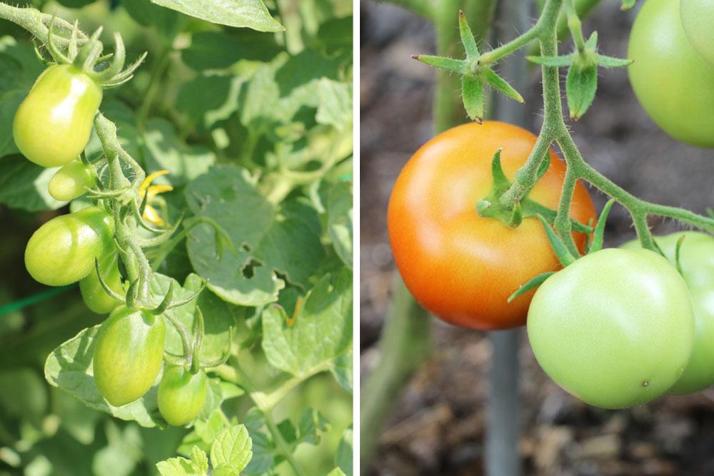Grüne Tomaten nicht verzehren