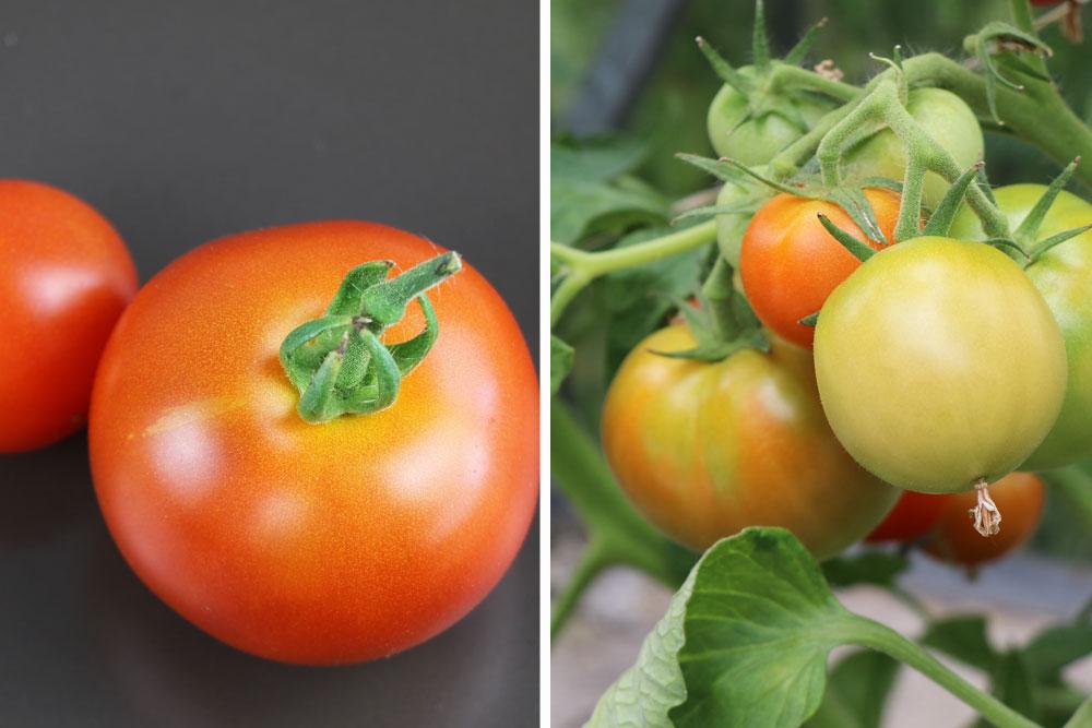 unreife Tomaten nachreifen lassen