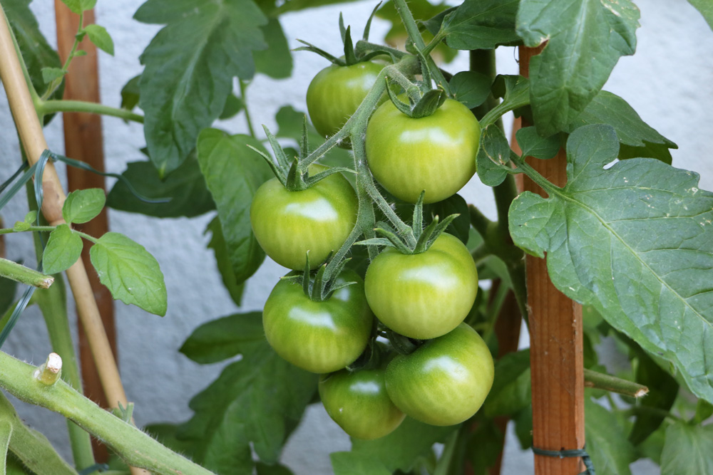 Unreife Tomaten