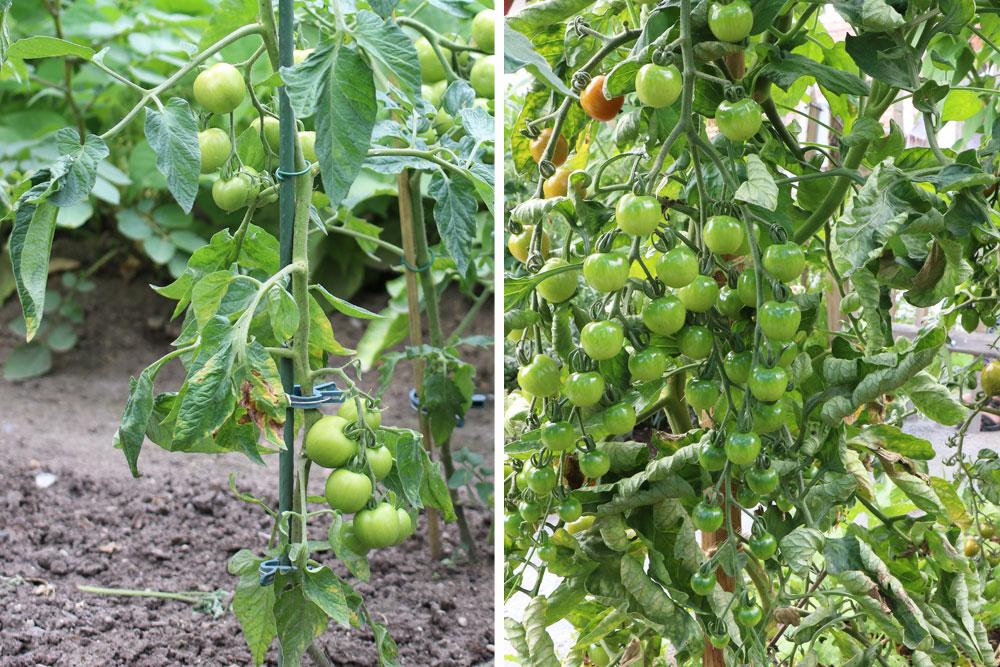 trockene Tomatenblätter entfernen