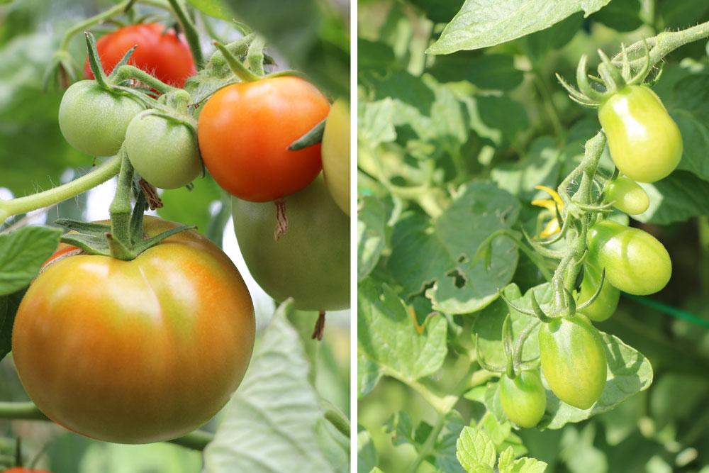Blattwerk der Tomate ist von großer Bedeutung