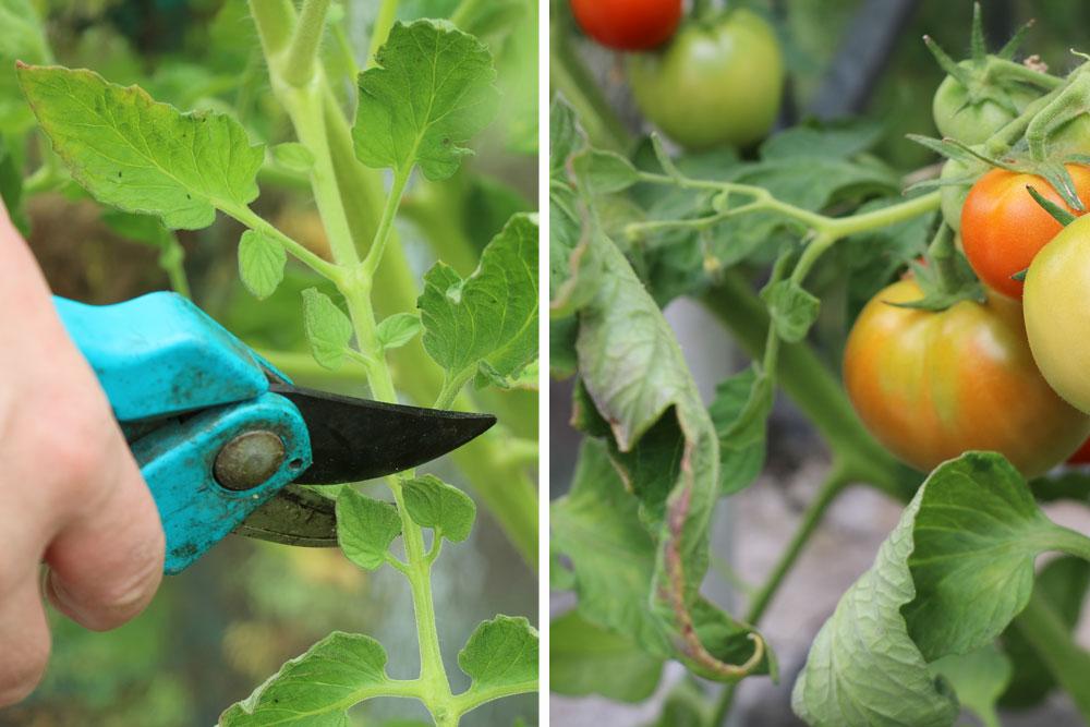 Weiterverwendung des Tomatenlaubs