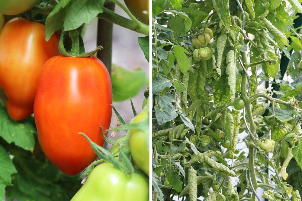 Tomatenblätter abschneiden