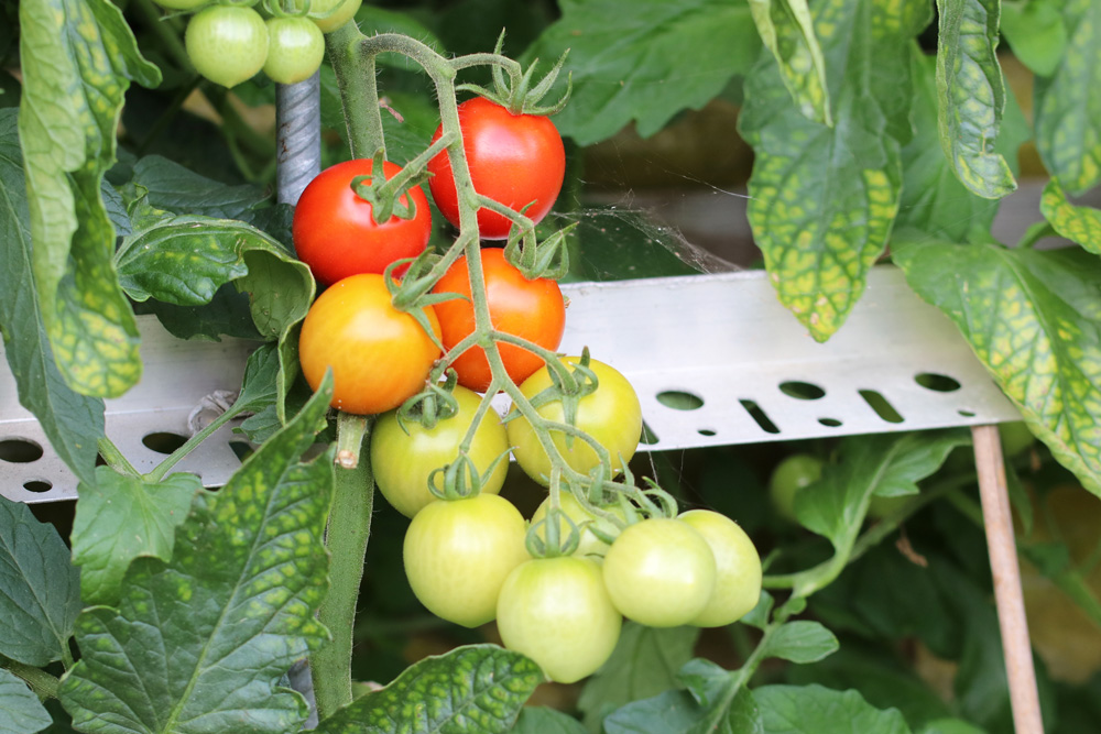 tomaten pflanzen der richtige abstand und platzbedarf