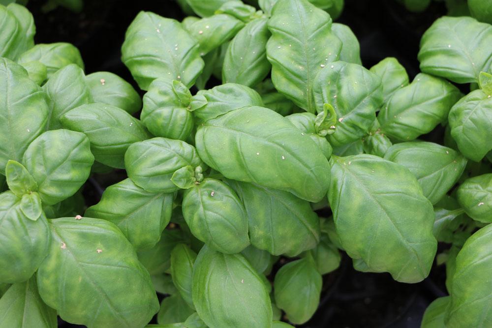 Basilikum für den Tomatensalat
