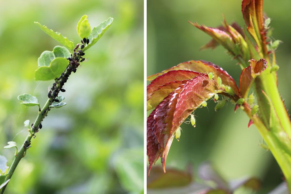 Blattlausbefall an Tomatenpflanzen