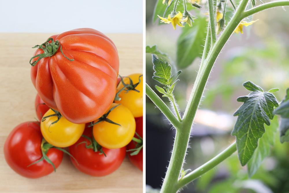 Läusen vorbeugen lohnt sich für Pflanze und Frucht