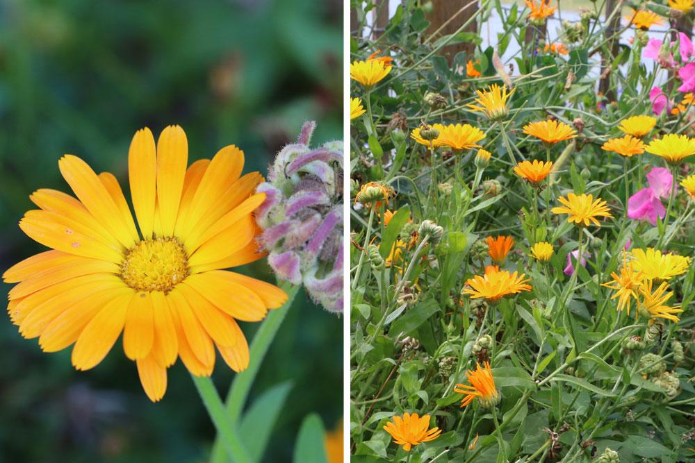 Ringelblumen locken Florfliegen an