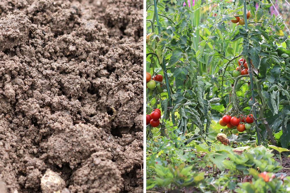 Buschtomaten ins Gemüsebeet pflanzen