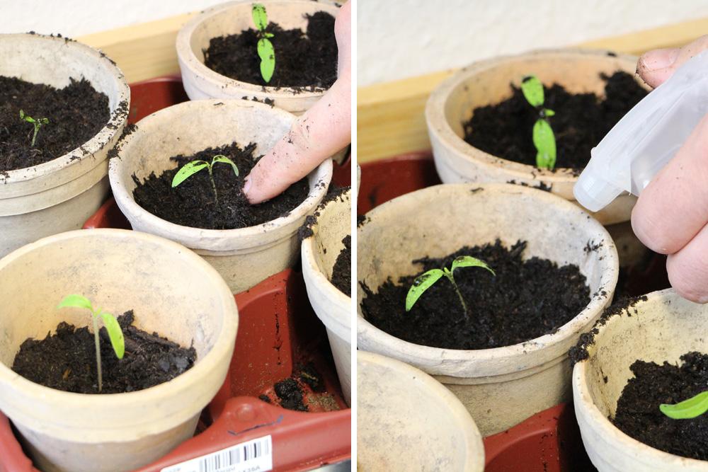 tomaten pikieren wann und wie anleitung in 5 schritten. Black Bedroom Furniture Sets. Home Design Ideas
