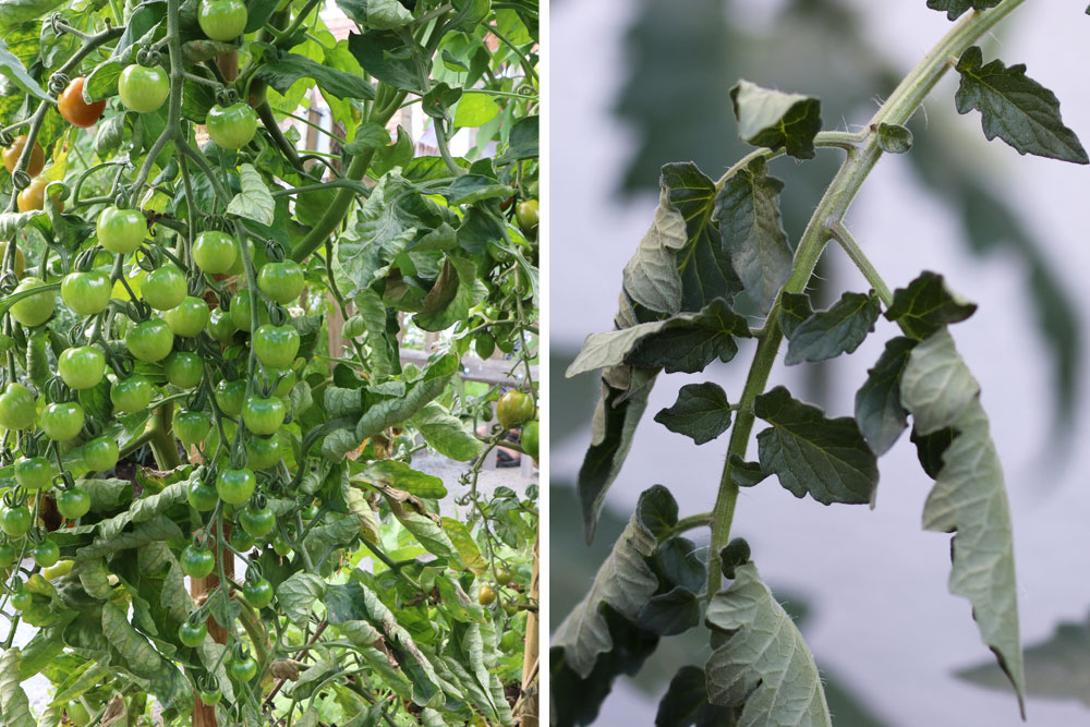 schlappe Blätter der Tomatenpflanze