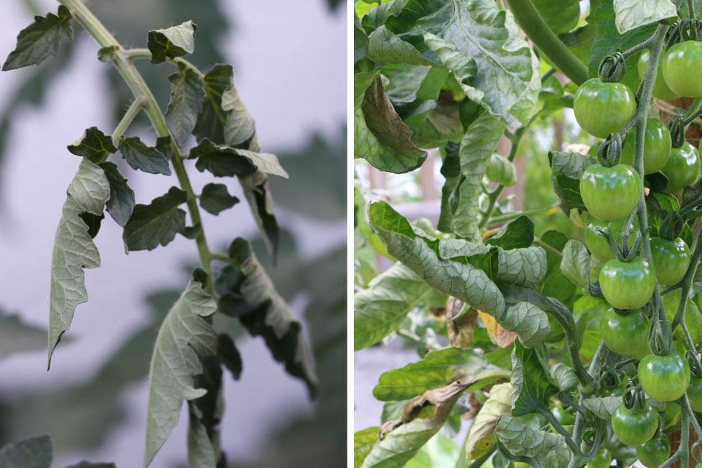 schlappe Blätter können durch Nährstoffmangel entstehen