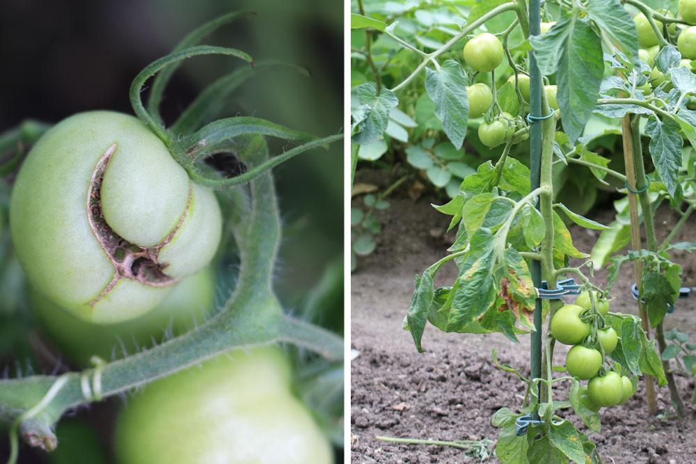 Tomaten können durch Schädlinge befallen werden