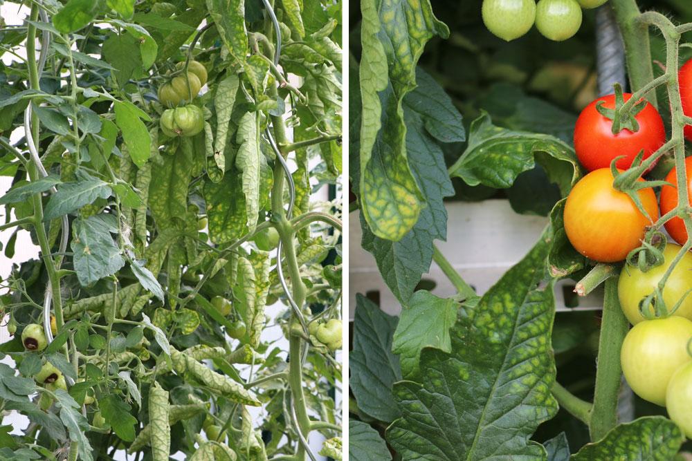 Tomaten lassen Blätter hängen