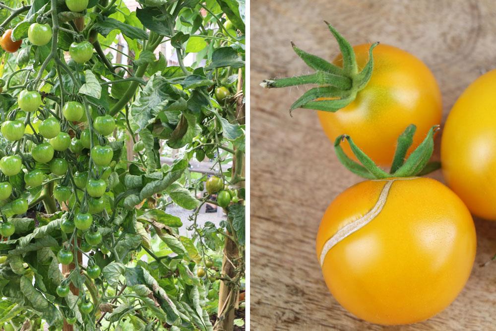 Tomatenpflanzen benötigen Nährstoffe