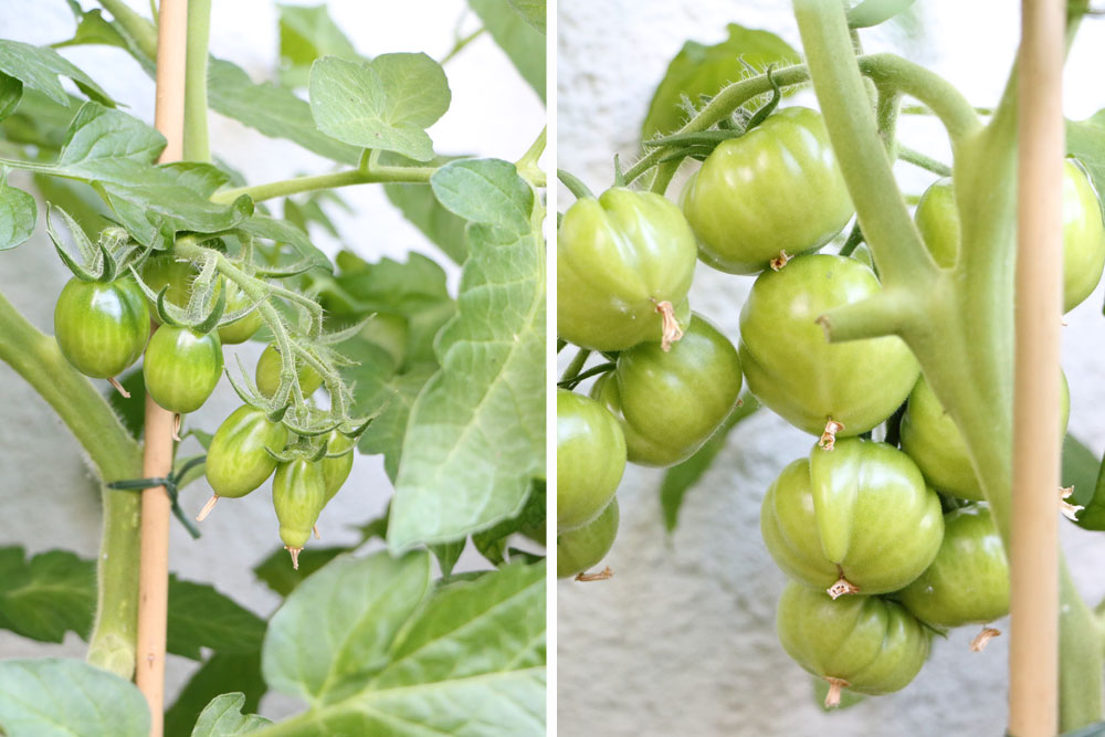Tomatenpflanzen auf dem Balkon