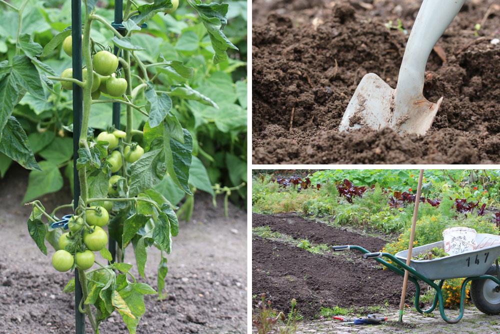 Tomatenpflanzen aus dem Gemüsegarten