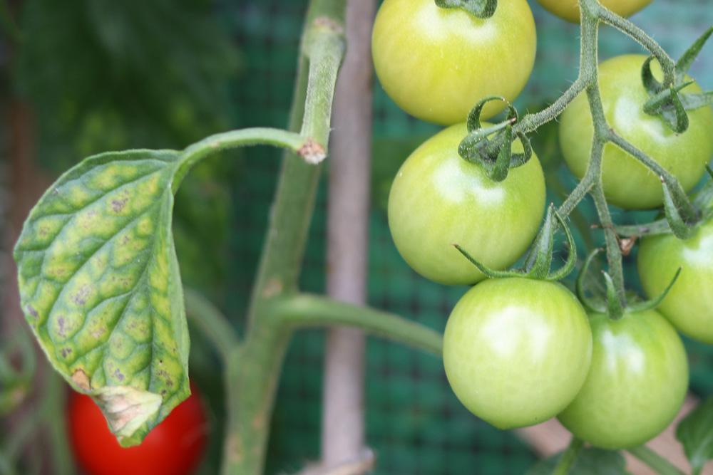 Gelbe Tomatenblätter