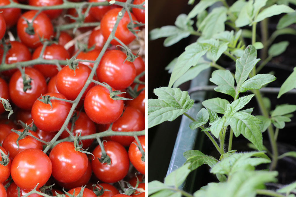 Tomaten daheim kultivieren