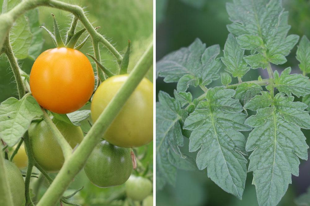 Tomatenpflanzen daheim züchten