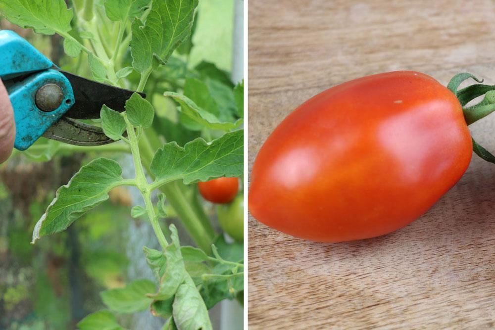 Tomatenanzucht in der Wohnung