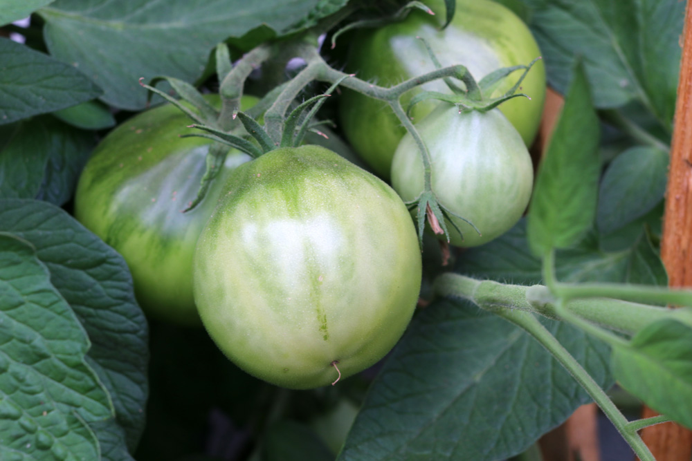 Black Truffle Tomate