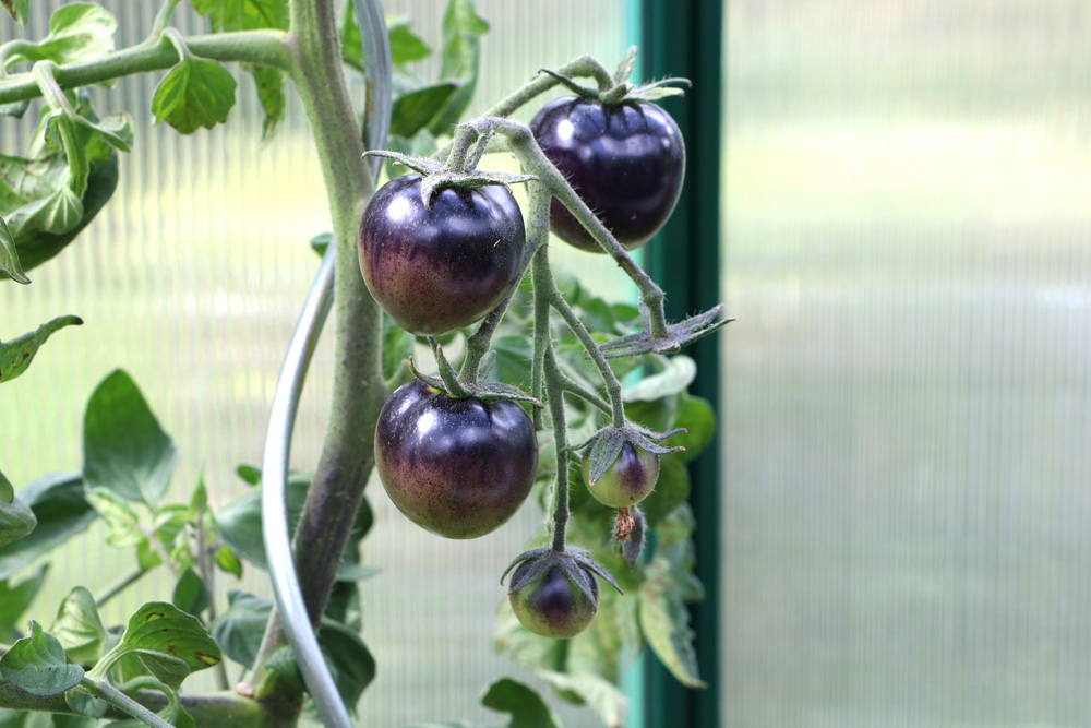 Blueberry Tomate