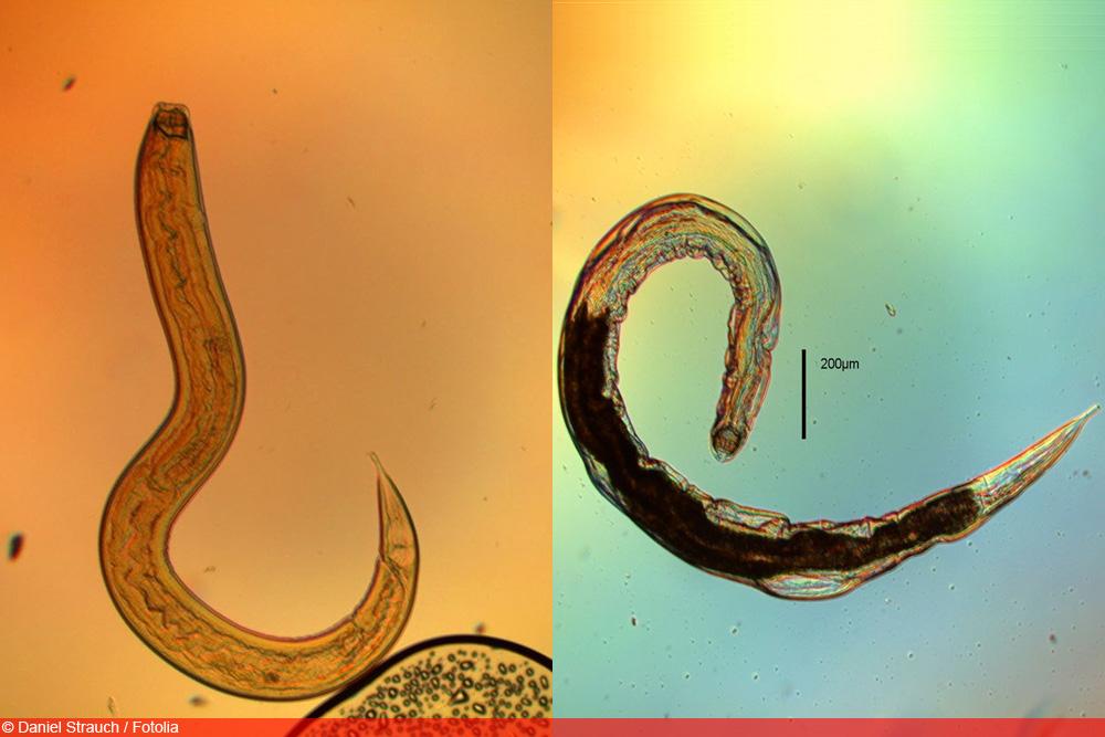 Nematoden - Fadenwürmer