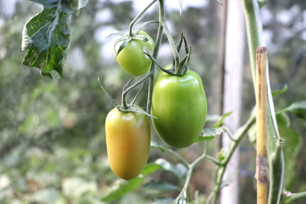 Schimmel an Tomaten