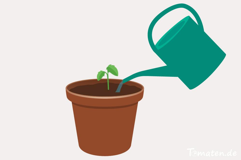 Tomate im Kübel anpflanzen