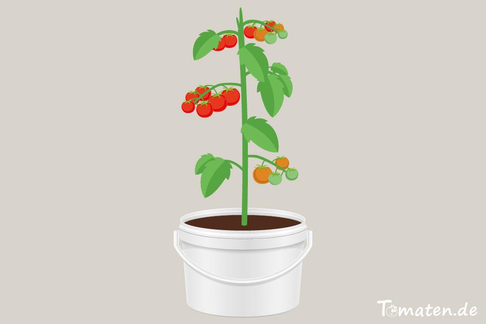 Tomatenpflanze im Farbeimer