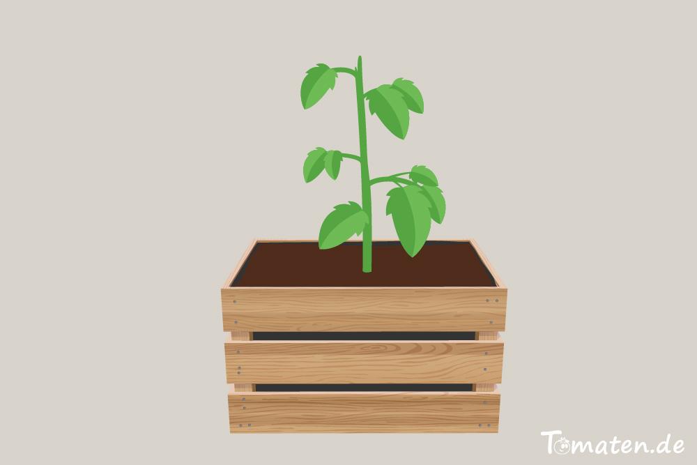 Tomaten in Weinkiste pflanzen