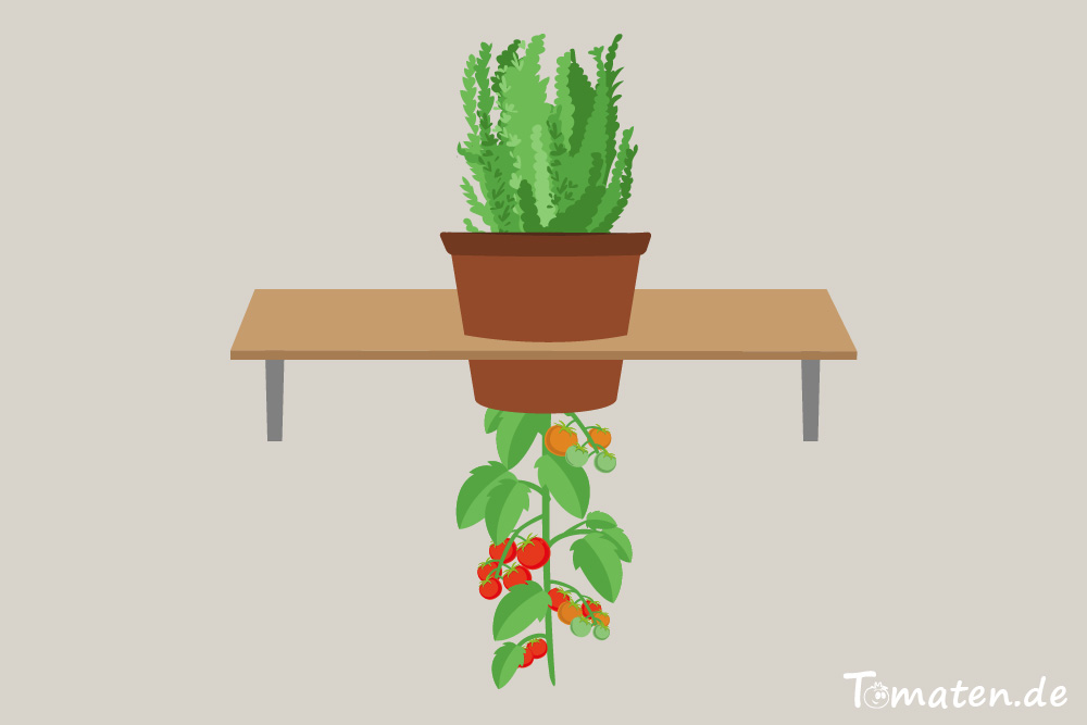 Tomaten kopfüber in einen Topf pflanzen
