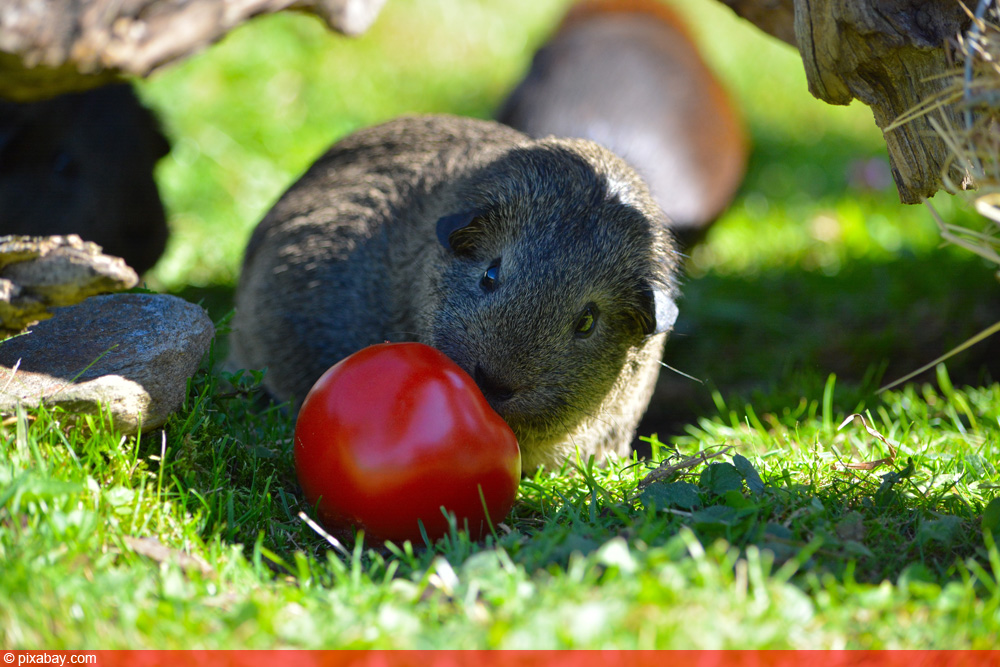 Meerschwein frisst Tomate