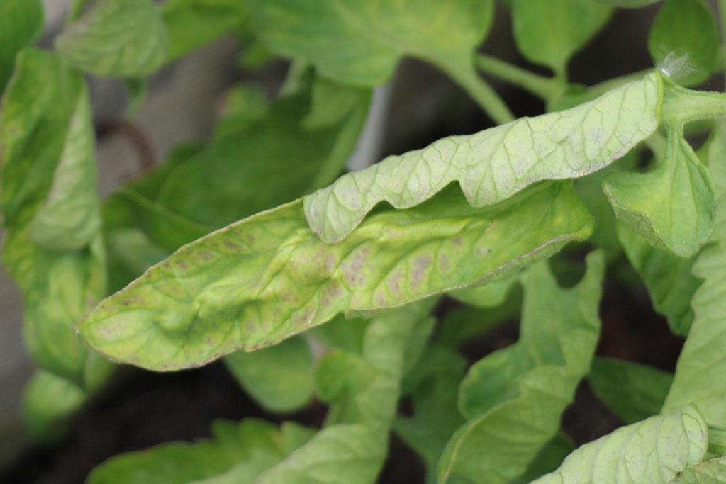 Tomatenblätter verfärben sich lila
