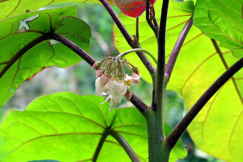 Tamarillo - Baumtomate - Solanum betaceum
